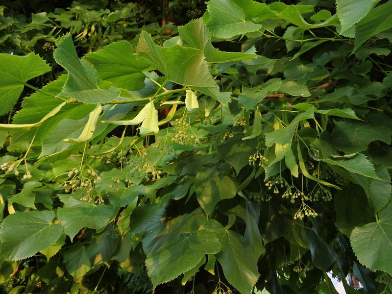 Alberi rampicanti e cespugli for Tiglio albero