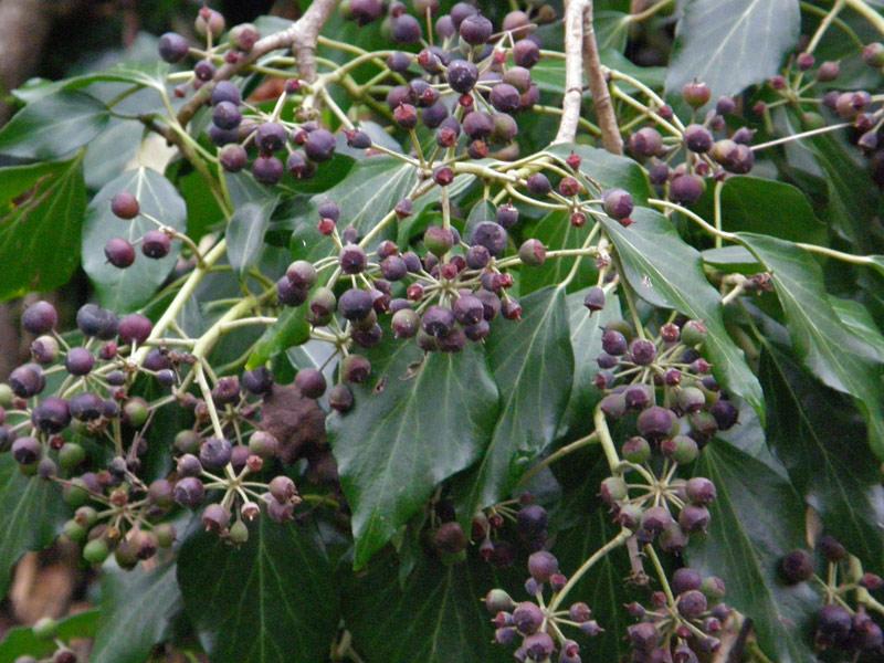 Bacche e frutti spontanei for Pianta rampicante sempreverde