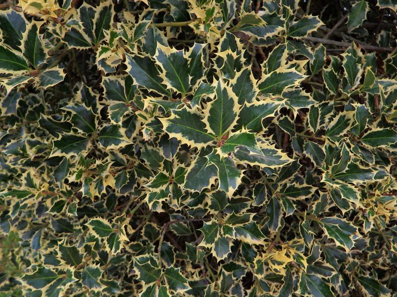 Fiori e piante nei giardini - Agrifoglio immagini a colori ...