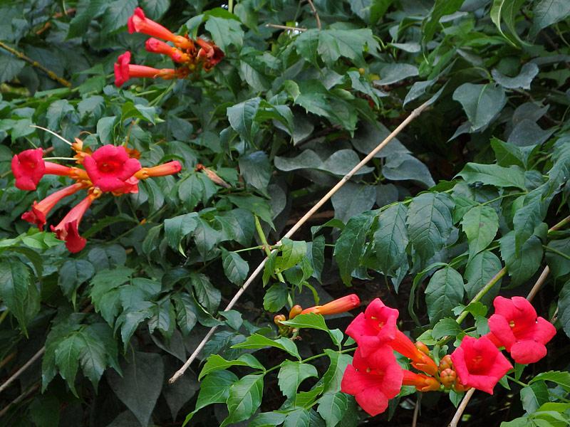 Fiori e piante nei giardini for Pianta rampicante sempreverde