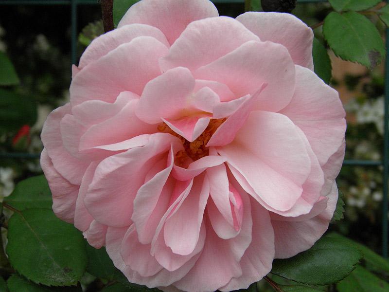 Fiori e piante nei giardini for Rose piante