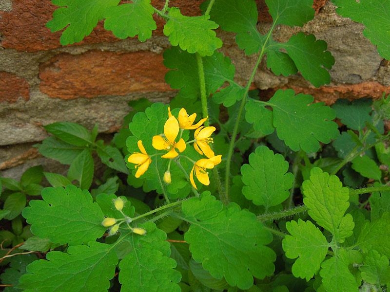 Fiori ed erbe spontanee giallo bianco verde for Fiori immagini e nomi