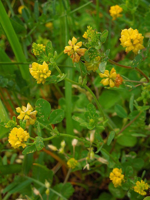 Fiori gialli nomi idea creativa della casa e dell for Nomi fiori bianchi e gialli